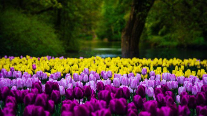 föreställer tulpaner i Amsterdam